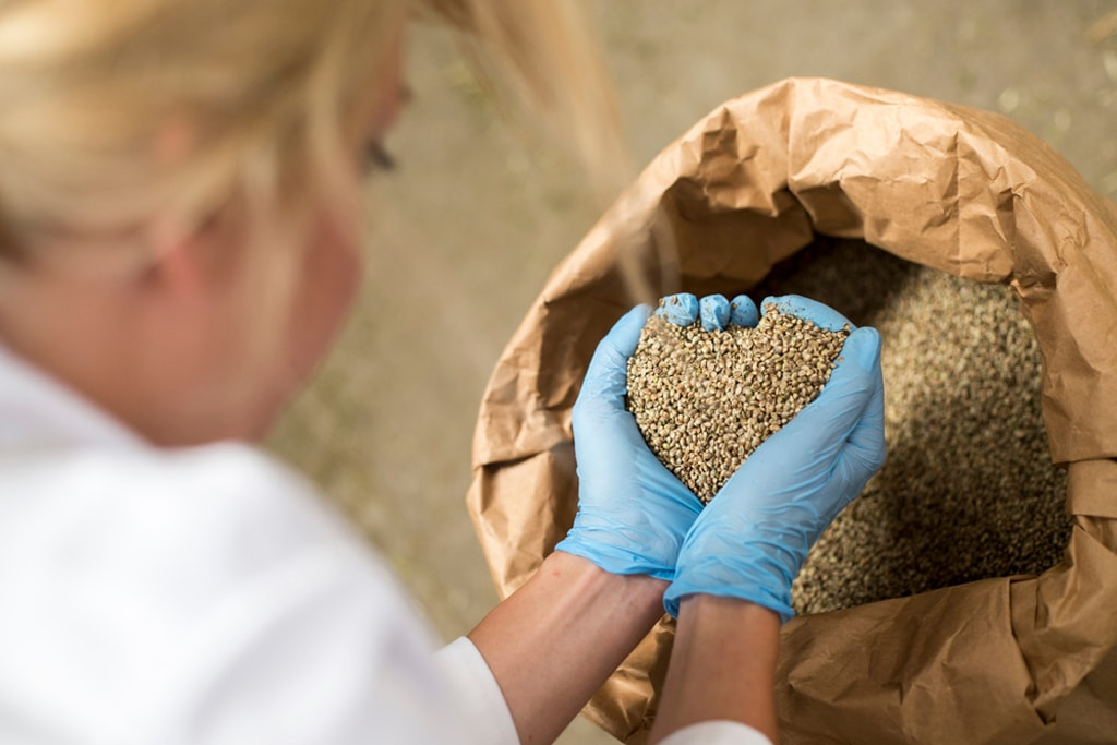 Hemp farmer examining seeds
